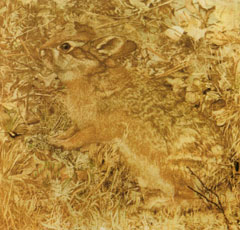 Abbott Thayer, 'Coniglio', in 'Concealing Coloration in the Animal Kingdom' (1909)